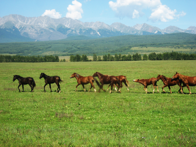 Табун лошадей в Тункинской долине, фото: http://prospekt-desires.ru/