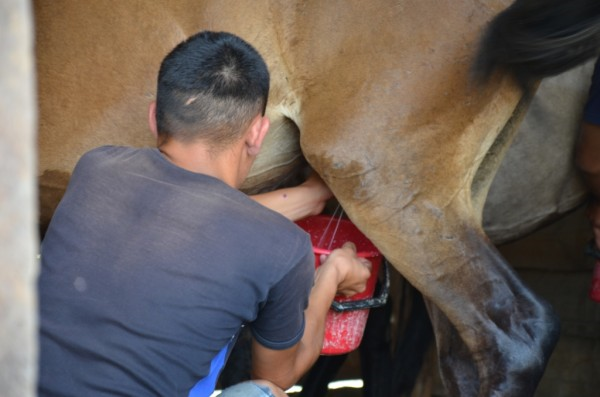 Добывают молоко лошади тем же способом, что и коровы, автор фото  Эрдэм Гомбоев
