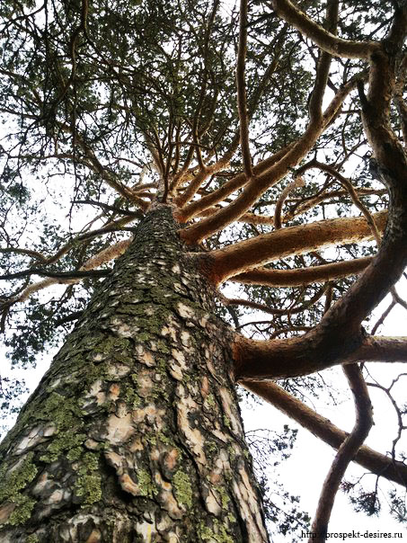 Дерево Ангасолка