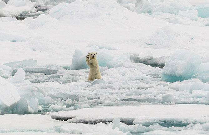 Медвежонок на льдине