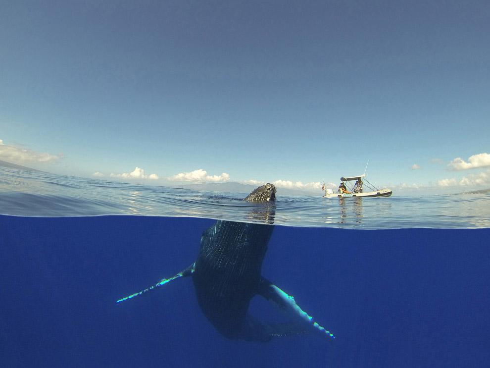 горбатый кит на Гаваях