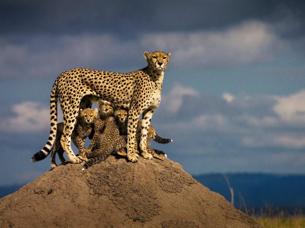 Гепард с детенышами