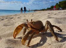пляж Варадеро краб