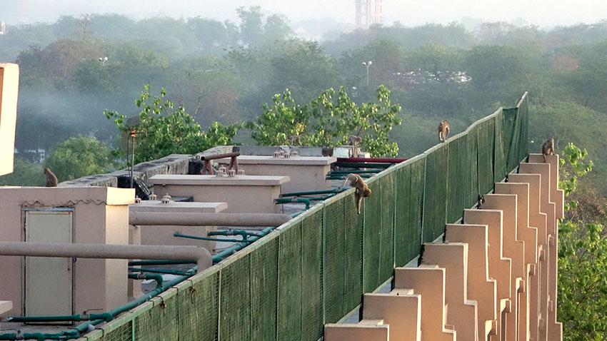 Обезьяны на крыше отеля в Агре