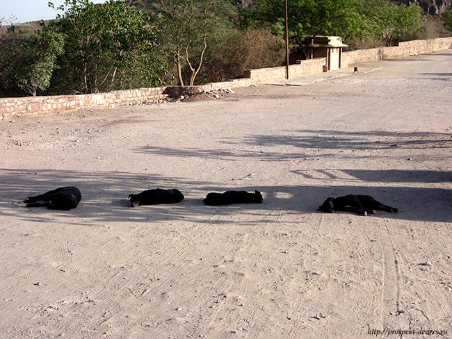 джодхпур индия собаки
