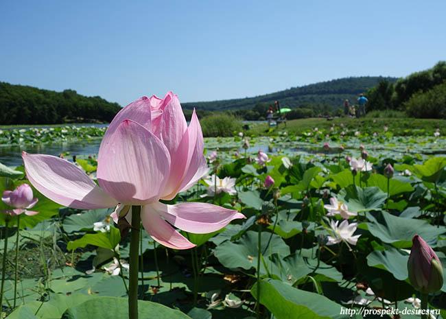 Лотосы в Приморье цветут