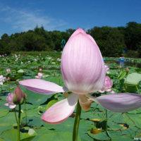 Где и когда цветут лотосы в Приморском крае