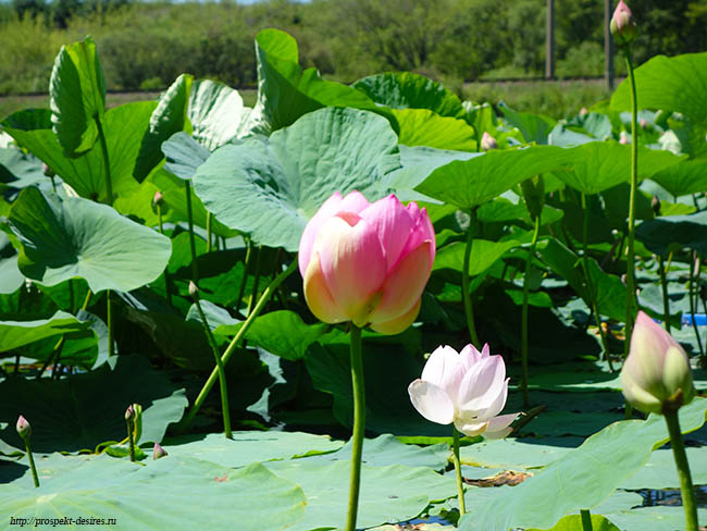 цветение лотосов в Приморье